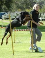 The Dobermann Club of Western Australia