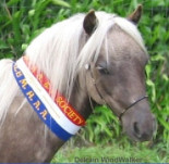 Miniature Horses from Delrain Farm