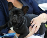 French Bulldog Awareness Group of Western Australia