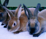 Quality Purebred Rabbits from Dandelion Rabbit Stud