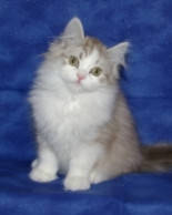 The RagaMuffin Kitten Breeders Society