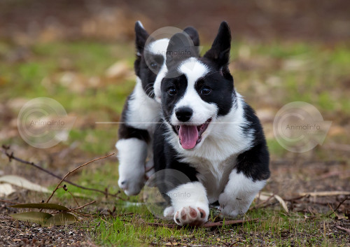Welsh Cardigan Corgi Puppies Playing Image