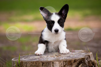 Welsh Cardigan Corgi Puppy Image