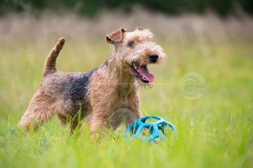 Lakeland Terrier Playing Stock Image