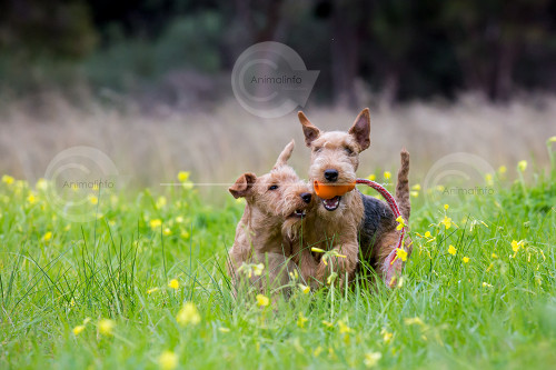 Lakeland Terriers with Toy Stock Image