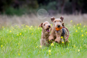 Lakeland Terriers Playing Stock Image