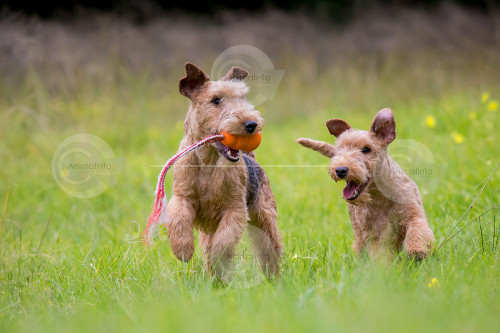Lakeland Terriers Stock Image
