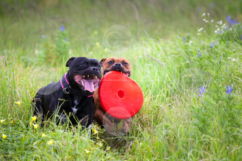 Staffordshire Bull Terriers Playing Photo