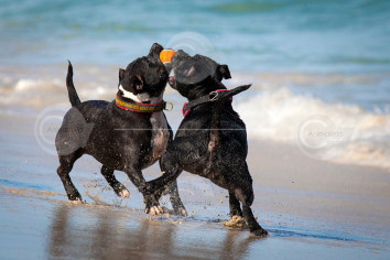 Staffordshire Bull Terriers Playing on the Beach  Photo