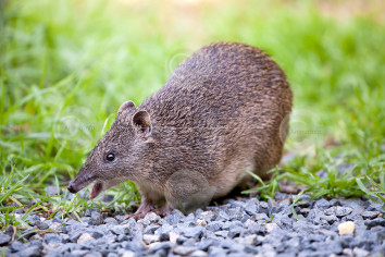 Southern Brown Bandicoot Image