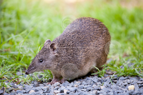 Southern Brown Bandicoot Photo