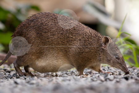 Female Bandicoot Stock Photo