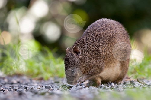 Female Bandicoot Stock Image