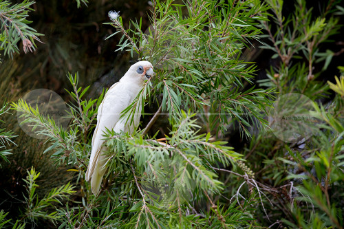 Short-billed (Little) Corella