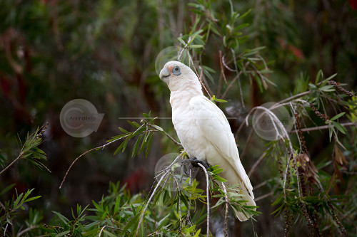 Little Corella Perching Stock Image