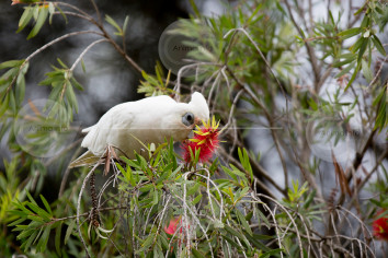 Little Corella Feeding Stock Image