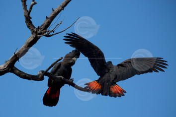 Naso Red-tailed Black Cockatoo Stock Image