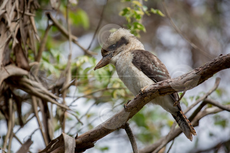 Laughing Kookaburra Stock Photo