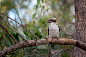 Laughing Kookaburra Image