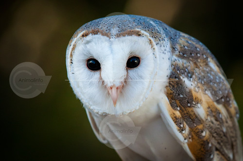 Barn Owl on Glove Stock Image