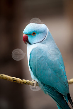 Blue Male Indian Ringneck Image
