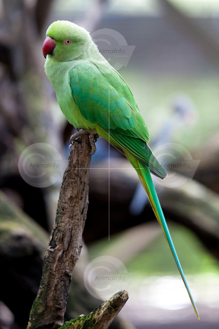 Indian Ringneck Hen Stock Image