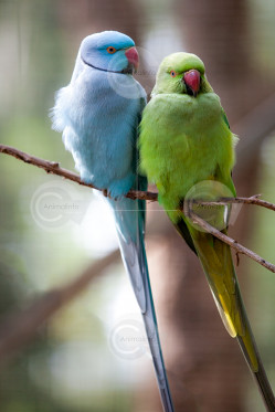Green and Blue Indian Ringneck Parrots Photo