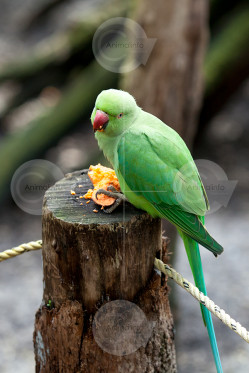 Indian Ringneck Hen Stock Photo