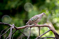 Common Bronzewing Image