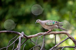 Juvenile Common Bronzewing Image