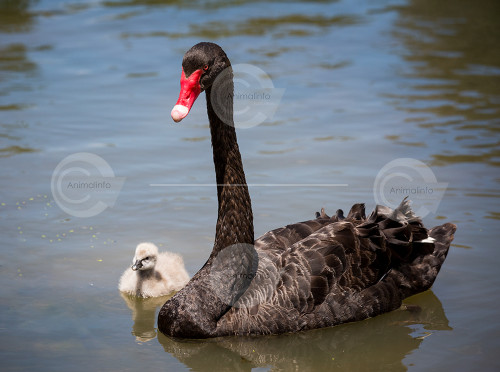 Black Swan Swimming with Cygnet Stock Image