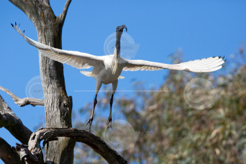 Australian White Ibis Taking Flight Stock Image