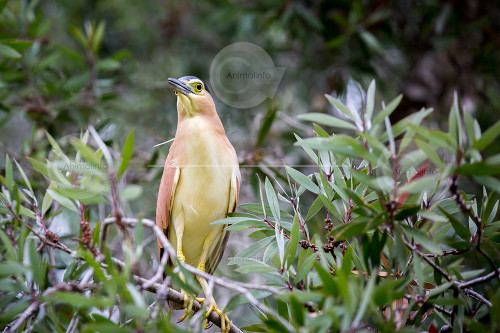 Nankeen Night Heron Photo