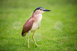 Nankeen Night Heron Stock Photo