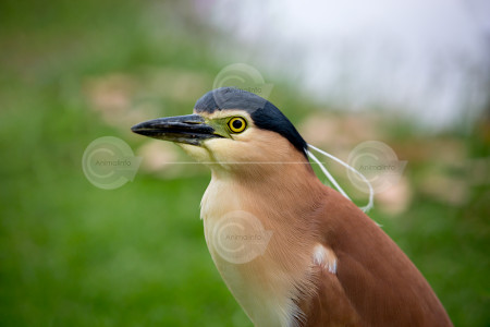 Nankeen Night Heron Close-up Photo
