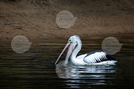 Australian Pelican Stock Photo