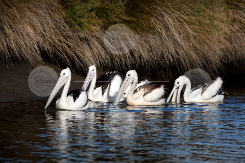 Australian Pelican Group Swimming Stock Image
