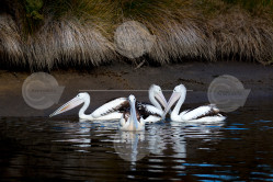 Australian Pelican Group Swimming Photo