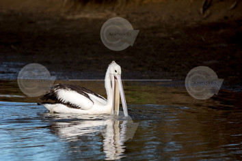 Australian Pelican Fishing Stock Image