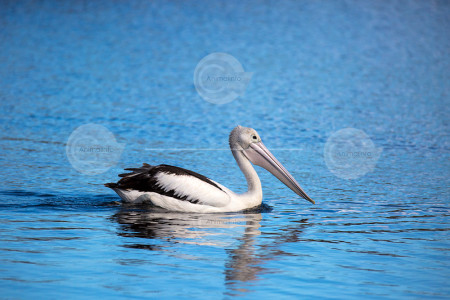 Australian Pelican Swimming Stock Image
