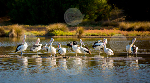 Australian Pelicans on a River Stock Image
