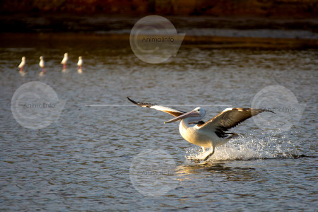 Australian Pelican Landing Stock Photo