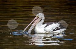 Australian Pelican Swimming Stock Photo