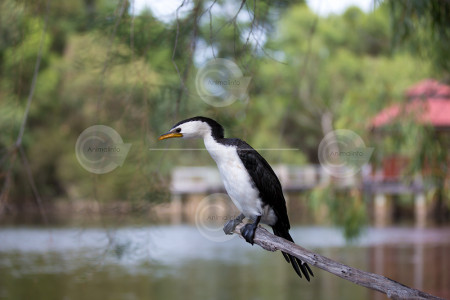 Little Pied Cormorant Photo