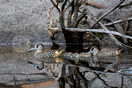 Pink-eared Ducks with Ducklings Stock Image