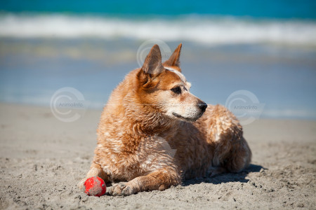 Red Australian Cattle Dog Stock Image