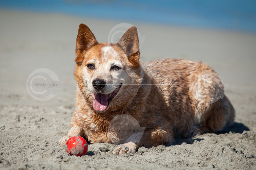 Australian Red Heeler Stock Image