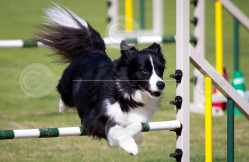 Border Collie Agility Stock Image