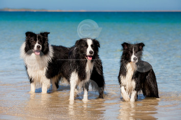 Border Collies Stock Image