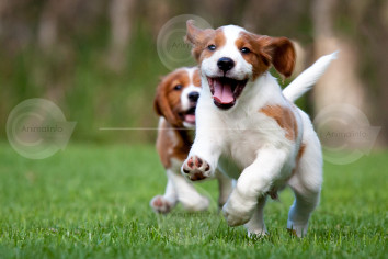 Brittany Spaniel Puppies Playing Image